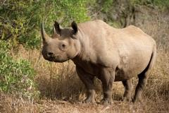 Black rhino_30899_.jpg