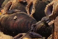 Fresh Water Pearl Mussel_30882_.jpg