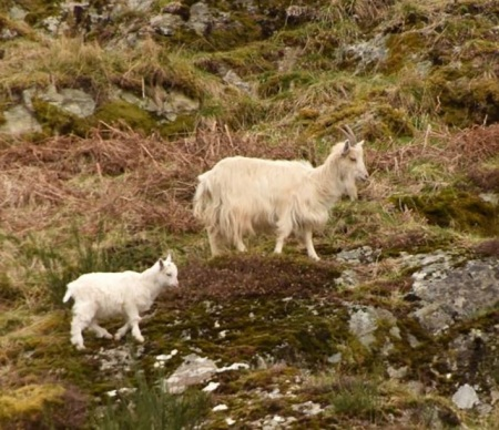 Wild Goat with Kid.jpg